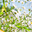 Summer meadow with the white flowers — Stock Photo