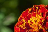 Marigold — ストック写真
