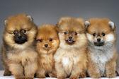 Pomeranian puppies — Stock Photo