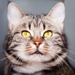 Stock Photo: Beautiful cat portrait.close-up.