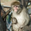 Japanese macaques — Stock Photo #5714092