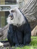 Lejon-tailed makak — Stockfoto