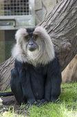 Macaco dalla coda di leone — Foto Stock