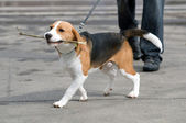 Puppy on walk — Stock Photo