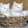Three kittens in a basket — Stock Photo