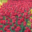 The road of red tulips — Stok fotoğraf