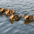 A flock of young ducks — Stock Photo