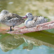 Stock Photo: Cape Teal (Anas capensis)