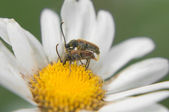 Love bugs in the flowers of chamomile — Stock Photo
