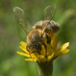 A bee pollinates a flower and harvested - Foto de Stock  