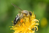 A bee pollinates a flower — Stock Photo