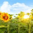Field of colorful sunflowers and blue sky - Stock Photo