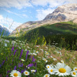 Field of daisies and wild flowers — Stok fotoğraf