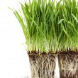 Stock Photo: Organic wheat grass on white