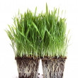 Stock Photo: Fresh wheat grass on white
