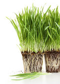 Organic wheat grass on white — Stock Photo