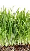 Closeup of wheatgrass on white — Stock Photo