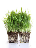 Fresh wheat grass on white — Stock Photo