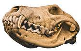 Wolf Cranium — Stock Photo