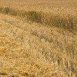 Field of rye — Stock Photo #6307859