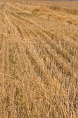 Mown field of rye — Stock Photo
