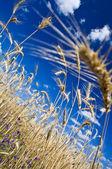 茎的黑麦 — 图库照片