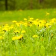 Large field of dandelions - Stock Photo