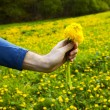 Dandelions in the hands of men on the background field of dandel — Foto Stock