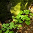 Stock Photo: Clover growing in clearing in woods