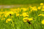 Large field of dandelions — Stock Photo