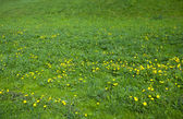 Background large field of dandelions — Stock Photo