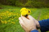 Dandelions in the hands of men on the background field of dandel — Stock Photo