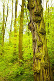 Tree with interesting bark in a forest — Stock Photo