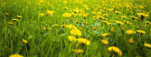 Background field of dandelions in the woods — Stock Photo