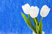 Three white tulips on a blue background — Stock Photo