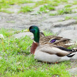 Ducks sitting on the grass — Stock Photo #5966189
