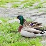 Ducks sitting on the grass — Stock Photo