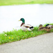 Ducks sitting on the grass — Stock Photo #5968678