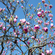 Magnolia against the blue sky — Stock Photo
