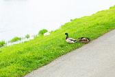 坐在草地上的鸭子 — 图库照片