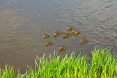 Duck with ducklings swimming in the water — Stock Photo