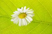 Grönt blad makro och kamomill — Stockfoto