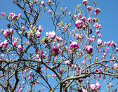 Magnolia against the blue sky — Стоковое фото