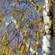 Birch against the blue sky — Stock Photo