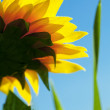 Sunflowers on a background of blue sky — Stock Photo
