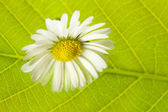 Camomile against a background of green leaves — Stock fotografie