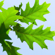 Oak leaf against the blue sky — Stock Photo