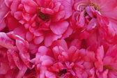 Background of roses — Stock Photo
