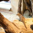 Mongoose sitting in a tree — Stock Photo