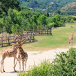 Foto Stock: Giraffes in savanna